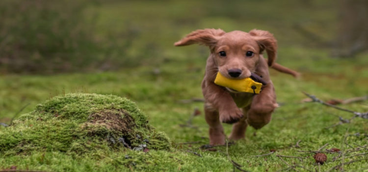 Sniffing It Out: Dogs Increasingly Used to Spot Diseases in Humans