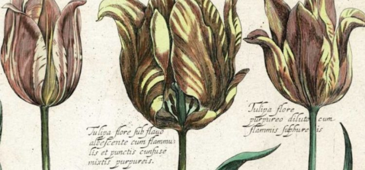 History of the Tulip: From Turkish Love Affair to Dutch Tulipmania Obsession